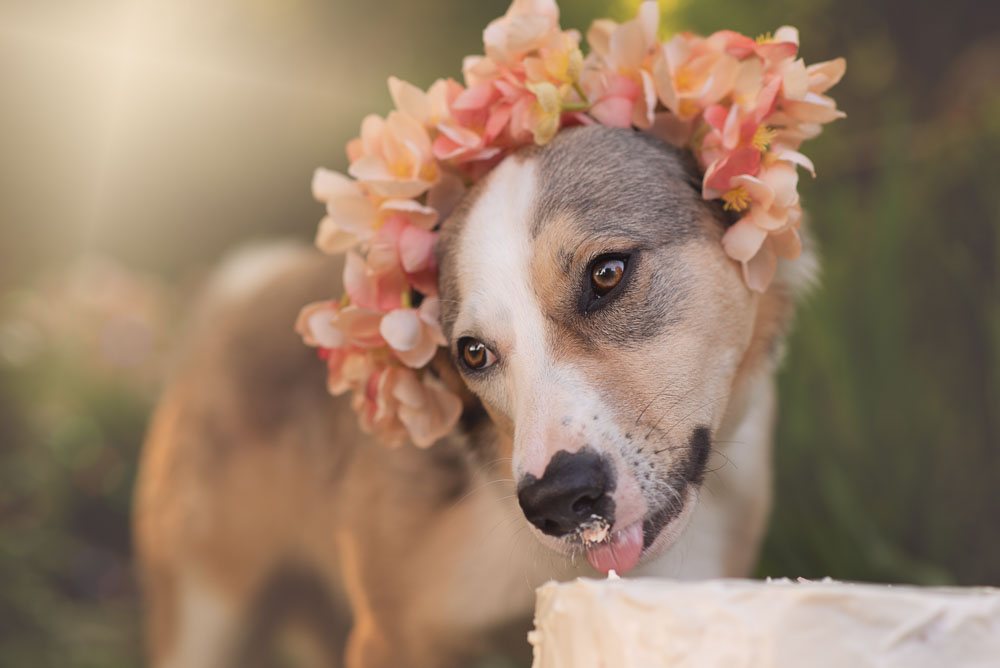 Dog taking a lick of her birthday cake