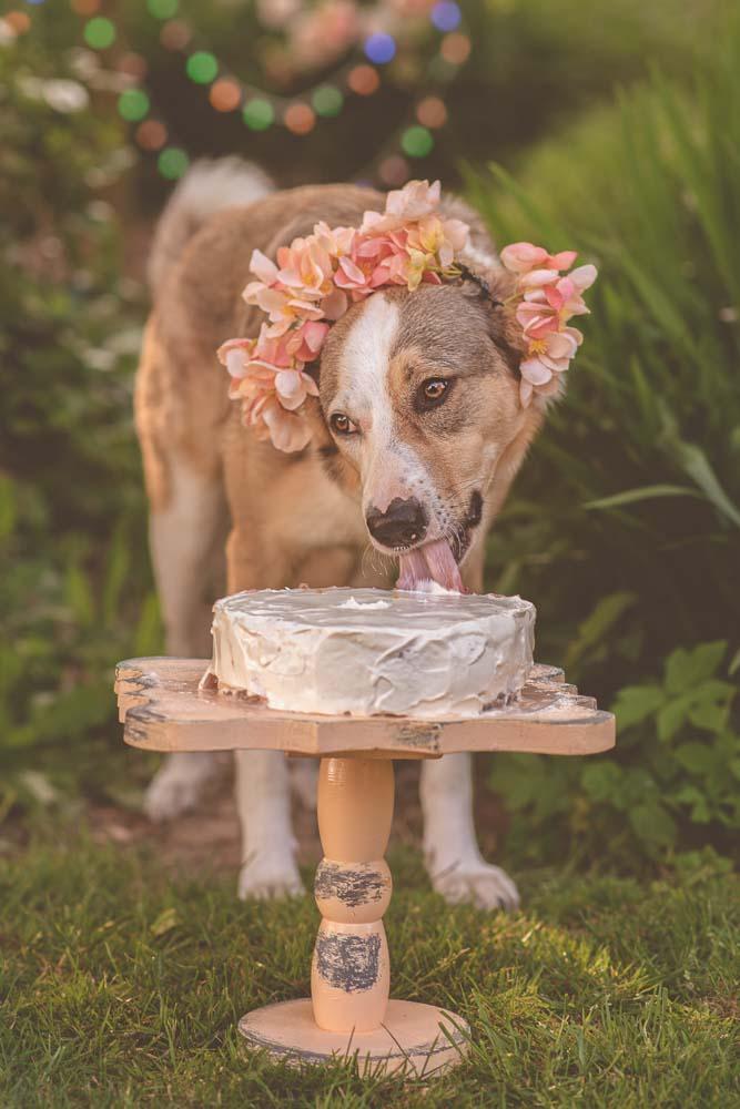 Dog photoshoot - Essex newborn photographer doggie cake smash