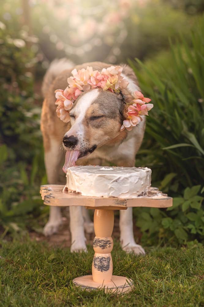 Dog looking blissfully happy with her birthday cake photoshoot